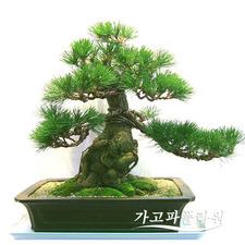 소나무[특2]