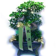 팬더고무나무[특대]